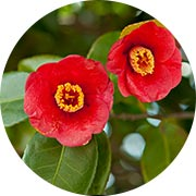 Camellia seed oil ethyl esters