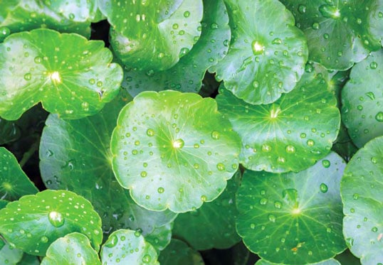 centella asiatica leaves how it looks in nature